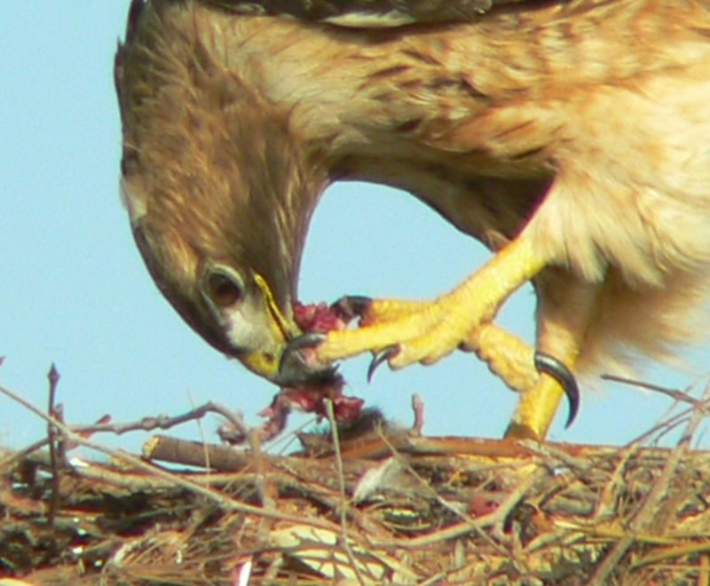 Mina tearing up food.  Those talons and sharp beak are probably more efficient than our hands. And like all hawks, the Red-tail's talons are its main weapons.