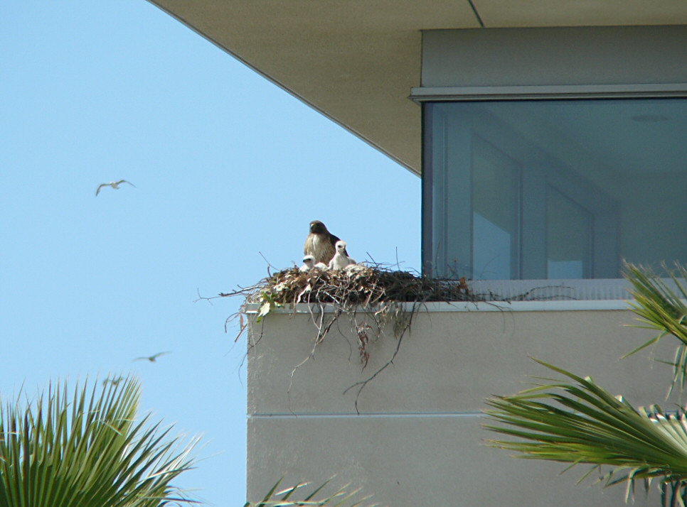 The view of the nest taken from the parking lot between the Lakeside and Parkview buildings. It's April 28 and the little ones can be clearly seen with the naked eye.