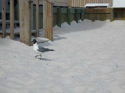 Gull on the Redneck Riviera