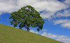 Oak Tree and Hill Landscape3-30-08-55