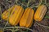 Durst Organics - Baker Seed-5071