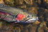 Steelhead Profile