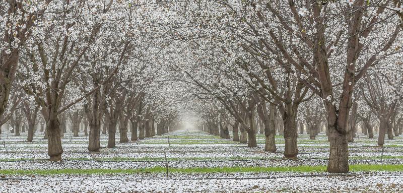 Almond Blooms_N5A0267