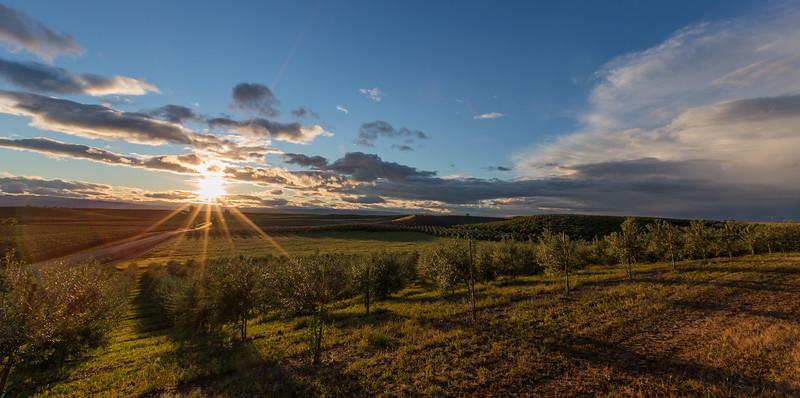 Olive Orchards Sunset