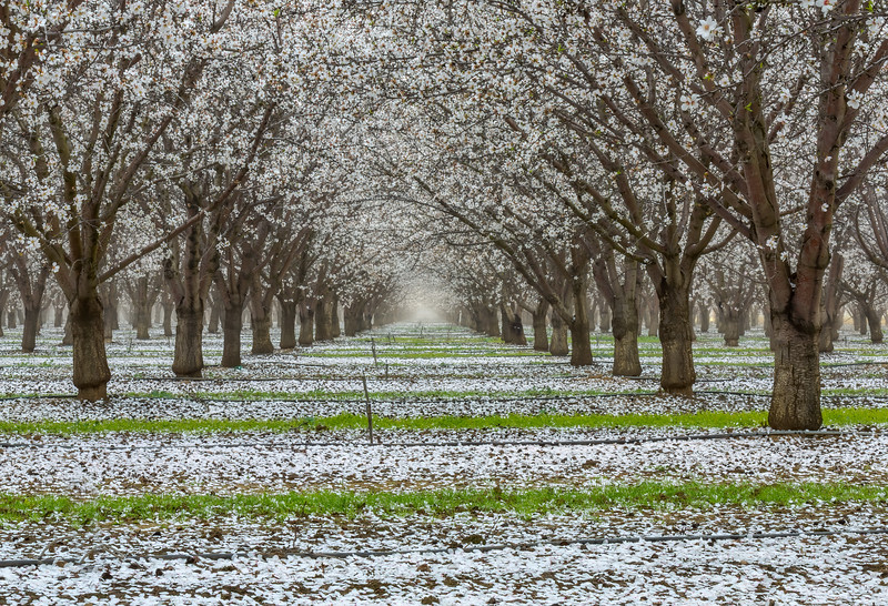 Almond Blooms-
