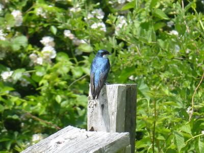 """Barn Swallow in the """"Bluebird Field"""""""
