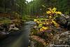 Upper Rogue River Ash Tree