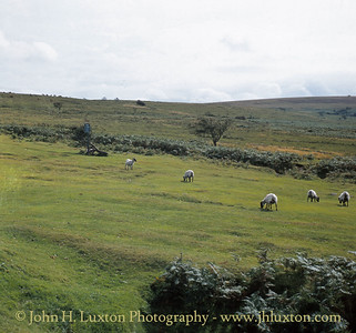 Sheep Grazing Near Ventford, Dartmoor - August 1982