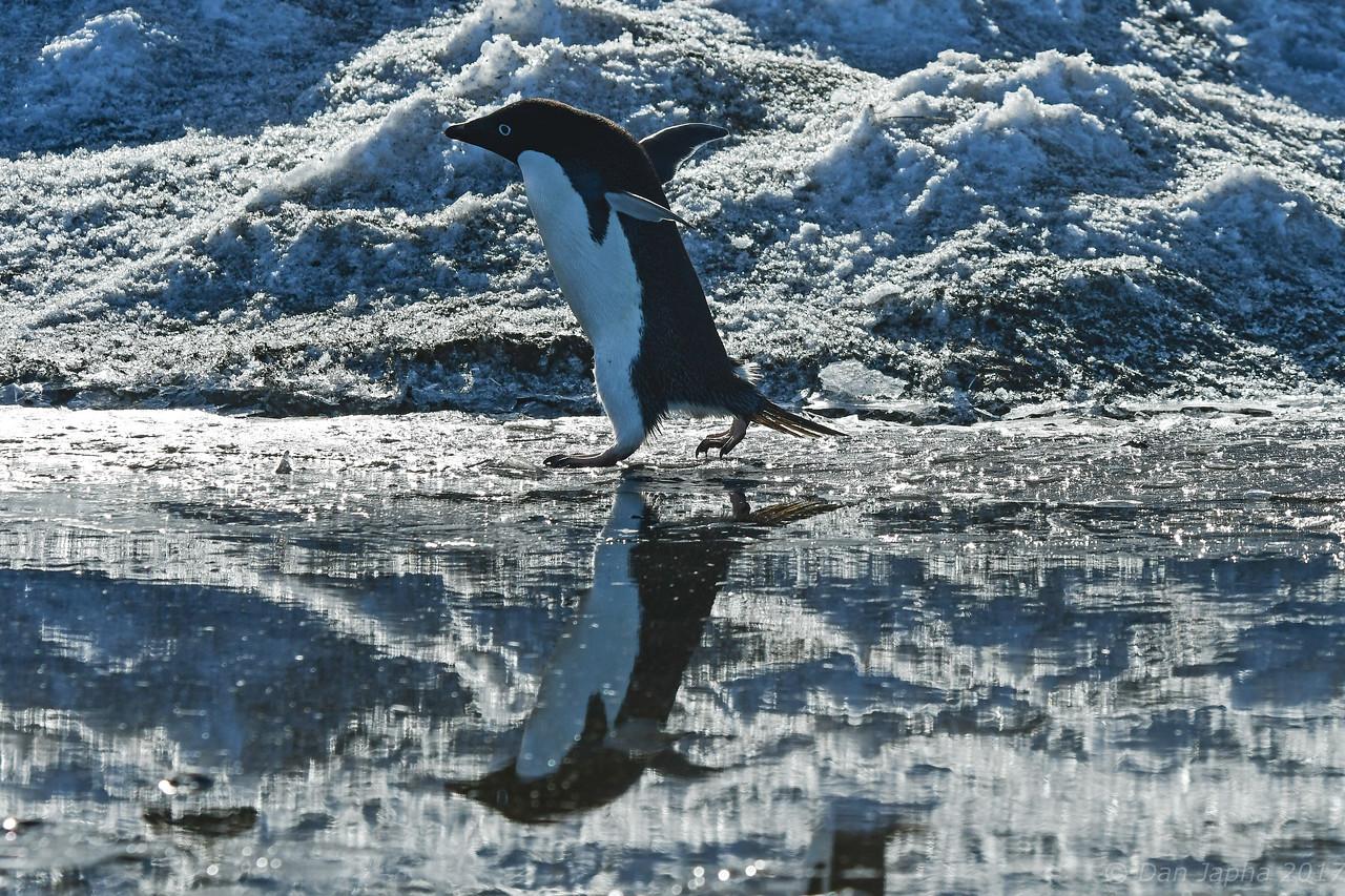 Adelie Penguin, Coulman Island