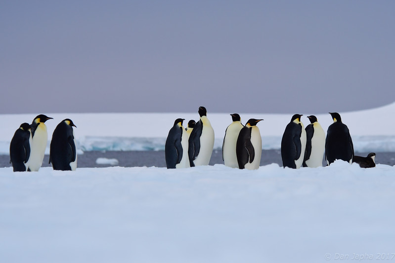 Emperor Penguins, Bay of Whales