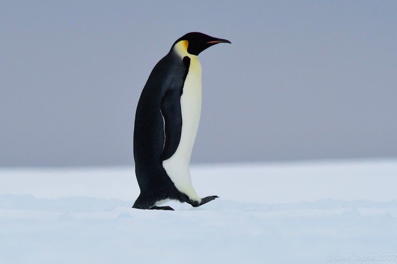 Emperor Penguin, Bay of Whales, Ross Sea