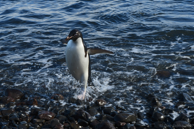 Adelie Penguin coming ashore on Coulman Island