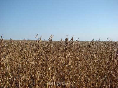 A Midwest U.S. Soybean Field