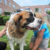 Grizzly gets a bath at Essex Park's Charity Dog Wash<br /> <br /> Photographer's Name: Stacey  Scharf<br /> Photographer's City and State: Salem, MA
