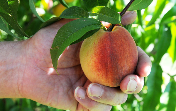 Danvers:<br /> A peach at Connors Farm.<br /> Photo by Ken Yuszkus, Salem News, Monday, August 12, 2013.