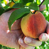 Danvers:<br /> A peach at Connors Farm.<br /> Photo by Ken Yuszkus, Salem News, Monday, August 12, 2013.