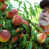 Danvers:<br /> Manager Rich Potter examines peaches at Connors Farm.<br /> Photo by Ken Yuszkus, Salem News, Monday, August 12, 2013.