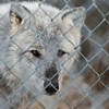 DESI SMITH Staff photo. A gray wolf looks through a chain linked fence at Wolf Hollow on 133 in Ipswich, Ma after being returned when the pack of six escaped.