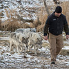 DESI SMITH Staff photo. Owner Zee Soffron of Wolf Hollow on 133 in Ipswich, Ma, is followed by three of the gray wolves that were brought back when a pack of six escaped. Wolf Hollow is undergoing projects to fix fencing that gave away last week and allowed six wolves to escape. December 14,2013