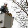 Ken Yuszkus/Staff photo. Salem: Tree Department worker Jimmy O'Brien strings lights on trees  on Essex Street in Salem.