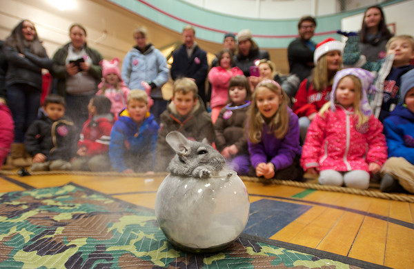RYAN HUTTON/ Staff photo. A chinchilla takes a dust bath to the delight of dozens of children as part of the Curious Creatures program at the YMCA during the New Year's Eve celebration in downtown Beverly at the New Year's Eve celebration in downtown Beverly