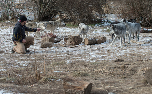 DESI SMITH Staff photo. Owner Zee Soffron of Wolf Hollow on 133 in Ipswich, Ma  feeds a pack of gray wolves after being brought back when the pack of six escaped.<br /> Wolf Hollow is undergoing projects to fix fencing that gave away last week and allowed six wolves to escape.