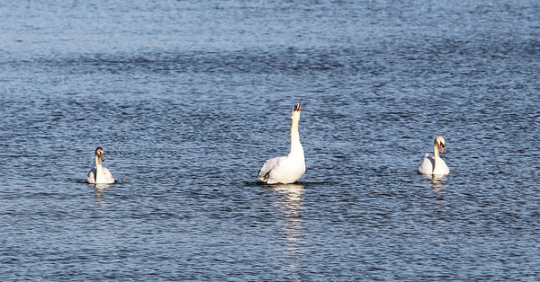 Three swans enjoy a sunny October afternoon while floating in Salem Harbor. David Le/Staff Photo