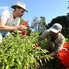 Farm apprentice Steve Pecci, left, and Assistant Manager Rob Eckman, right, of Moraine Farm in Bevelry, pick peppers on Friday afternoon. David Le/Staff Photo