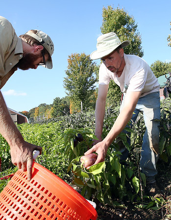 Farm apprentice Steve Pecci, right, and Assistant Manager Rob Eckman, left, of Moraine Farm in Beverly pick peppers on Friday afternoon. Public schools in Beverly and Salem have bought local produce from Moraine Farm for the first time this year. David Le/Staff Photo