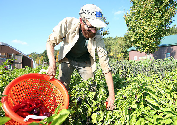 Rob Eckman, Assistant Manager of Moraine Farm in Beverly, picks peppers on Friday afternoon. David Le/Staff Photo