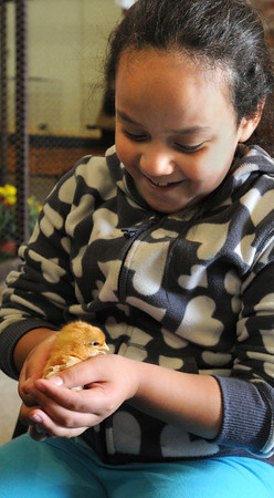 Topsfield:<br /> Witchcraft Heights Elementary School 2nd grader Hemely Velez holds a baby chicken in her hands during her visit to the Topsfield Fair<br /> Photo by Ken Yuszkus, The Salem News,  Wednesday, October 09, 2013.