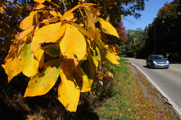 Ipswich:<br /> Leaves changed to yellow on the side of Jeffrey's Neck Road in Ipswich mark the start of autumn.<br /> Photo by Ken Yuszkus, The Salem News,  Tuesday, October 08, 2013.