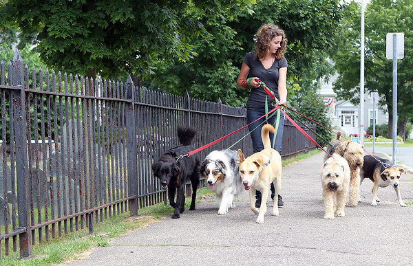 Elizabeth Paddock, of Chicago, IL, and an employee at Doggy Daycare walks a large group of dogs down Abbott St. in Beverly on Thursday afternoon. David Le/Staff Photo