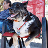 Murphy sits on a chair in the shade at the Salem Dog Park on Wednesday afternoon. David Le/Staff Photo