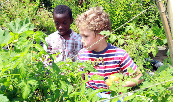 The Greenhouse School 3rd graders Theo Fox, right, and Bunmi Olatilu, left, pick ripe tomatos from the garden. David Le/Staff Photo