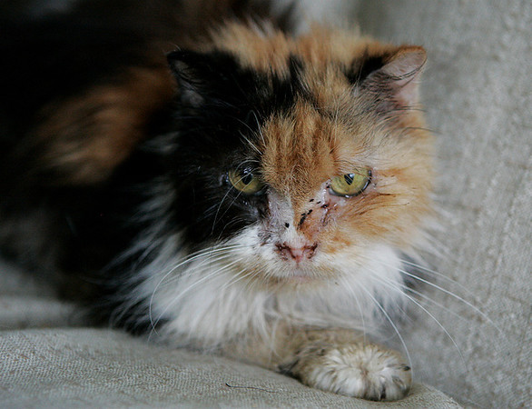 Peabody: This calico cat was one of five cats rescued from the mobile estates on Route 1 Monday night. Barbara Jones is a volunteer for the non-profit organization 501C3 who rescued the cats and is taking care of them until they are well enough for adoption. Photo by David Le/Salem News