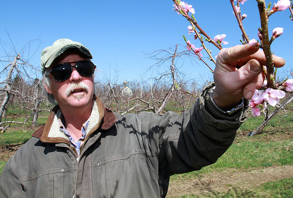 Pat Kriksceonaitis, Farm Manager of Brooksby Farm in Peabody, points out some of the budding white peach blossoms that were damaged during the recent cold temperatures. David Le/Staff Photo