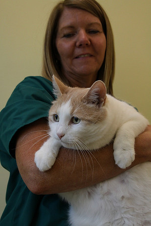 "Salem: Patty McNamara, an adoption counselor at the Northeast Animal Shelter in Salem, holds Nicky, a 5 year old cat who resides in the shelter. The Northeast Animal Shelter is hosting an ""adopt-a-thon"" this weekend where cats one-year and older can be adopted for half price. Photo by David Le/Salem News"
