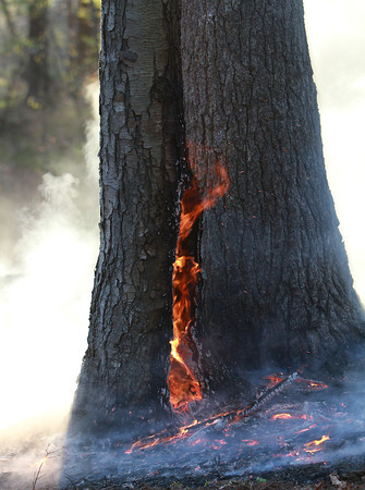 The base of a tree in the woods behind Danvers High School flares up and smokes during a brush fire late Friday afternoon. David Le/Staff Photo
