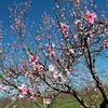 Blossoming white peach trees at Brooksby Farm in Peabody were most likely damaged by the recent cold weather, following an extremely warm spell last week with late spring-like temperatures. Many local farms have lost some of their produce due to the drastic changes in the weather. David Le/Staff Photo