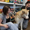 Salem: Tom and Lisa Stanchfield, co-owners of Luna's Pet Depot on Bridge Street in Salem, named their business after their 2-year old Siberian Husky, Luna, who is always waiting and eager to welcome customers. Photo by David Le/Salem News