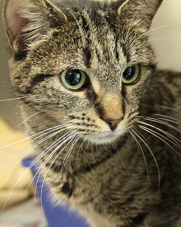 "Salem: The Northeast Animal Shelter in Salem, is hosting an ""adopt-a-thon"" this weekend where cats one-year and older can be adopted for half price. Photo by David Le/Salem News"