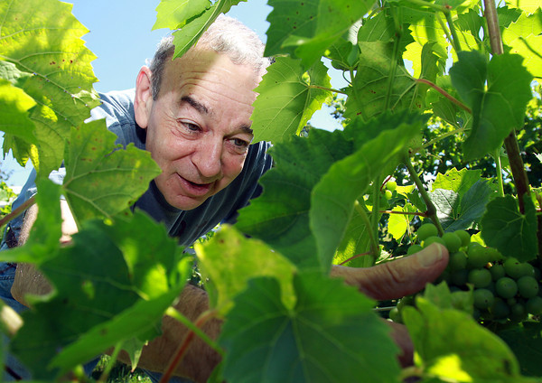 Richard Adelman, owner of Alfalfa Farm Winery in Topsfield examines some unripened grapes in his vineyard. David Le/Staff Photo