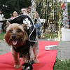 Massimo, a Yorkie from Winthrop walks the red carpet during the annual Heritage Days dog show. This year the theme of the show was Hollywood Days. Photo by Deborah Parker/August 2, 2009
