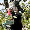 Julia Freni, 11, of Rever catches an apple thrown to her by her dad, Rick, while apple picking with her family at Brooksby Farm in Peabody Friday afternoon. Photo by Deborah Parker/September 25, 2009