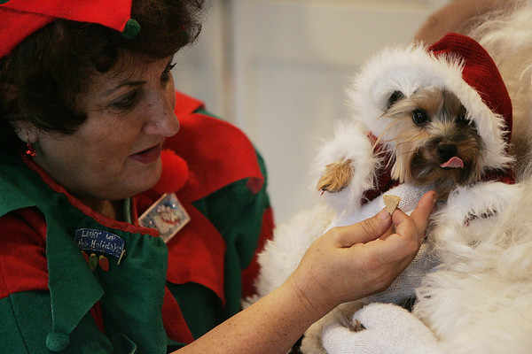 Beverly : Jackie Rapisardi of Boxford and volunteer from the Beverly Rotary Club tries to get Gus Temkin of Beverly to look at the camera while having his picture taken with Santa Claus at Dogs by Design & Cats Too Saturday morning. The business hosted a fundraiser on Nov. 29 to raise money to buy animal resuscitation machines for the Beverly Fire Department. The machines are used to revive animals who have been overcome in fires. For $15, families could get their pictures with Santa and two elves. The photos were posted immediately on the store's Web site and can be downloaded to be used as a holiday card. Photo by Deborah Parker/Salem News Saturday, November 29, 2008
