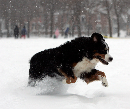 "Salem: Beckett runs to his owner, Daniel O'Connor of Boston while playing in the snow cover Salem Commons Saturday afternoon. ""This dog loves snow more than any human I know,"" said O'Connor. Photo by Deborah Parker/Salem News Saturday, December 20, 2008."