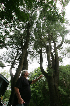 Wenham resident, Bob Hutchins stands beneath two trees on his property that the Beverly Airport Commission would like to trip 40 feet off of, as they say it is a hazard to incoming aircraft. Hutchins disagrees and says that many of the surrounding trees are the same height if not taller. Photo by Deborah Parker/June 17, 2010