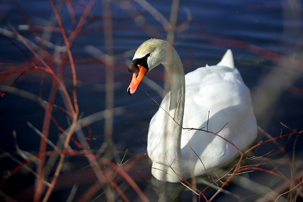 A swan is seen through leafless branches while floating around the Crystal Lake Conservation area in Peabody Thursday morning. Photo by Deborah Parker/February 11, 2010