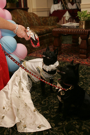 Doggie bride, Cricket and her doggie groom, Black Magic pose for pictures while being offered a treat by their owner Sharon Shea of Salem while at the Hawthorne Hotel Friday afternoon. The dogs were married in a at Salem Willows and honeymooned at the hotel. Photo by Deborah Parker/June 25, 2010